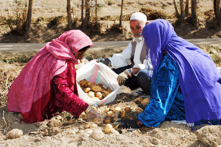 Photo of potato farming in Afghanistan