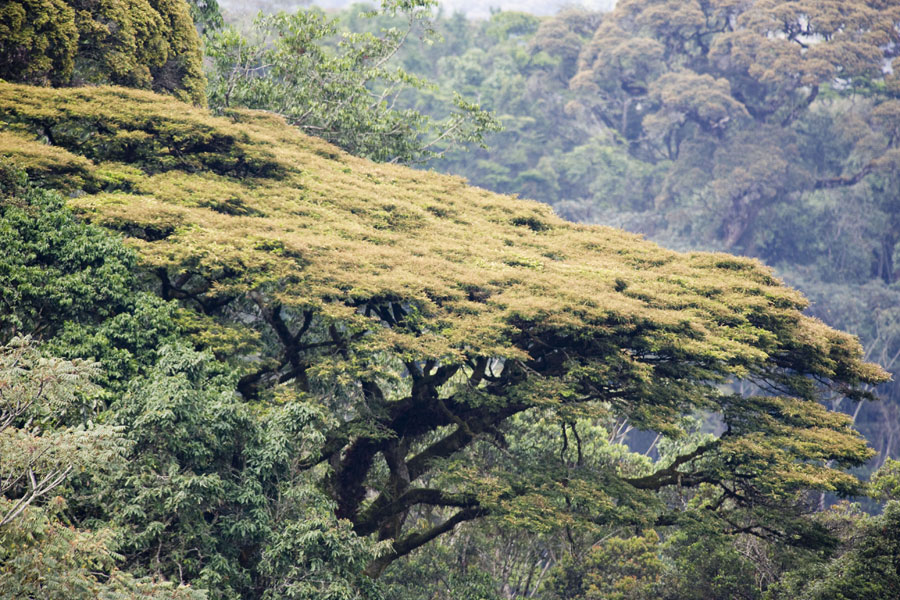 Photo of Newtonia Buchananii trees.